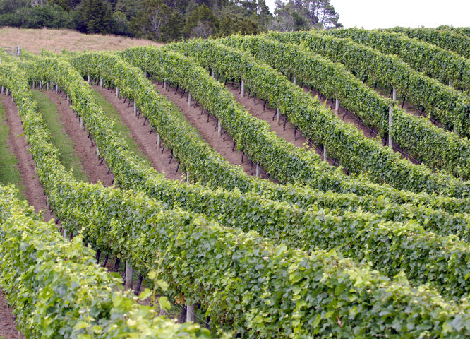 vineyard-rows-2